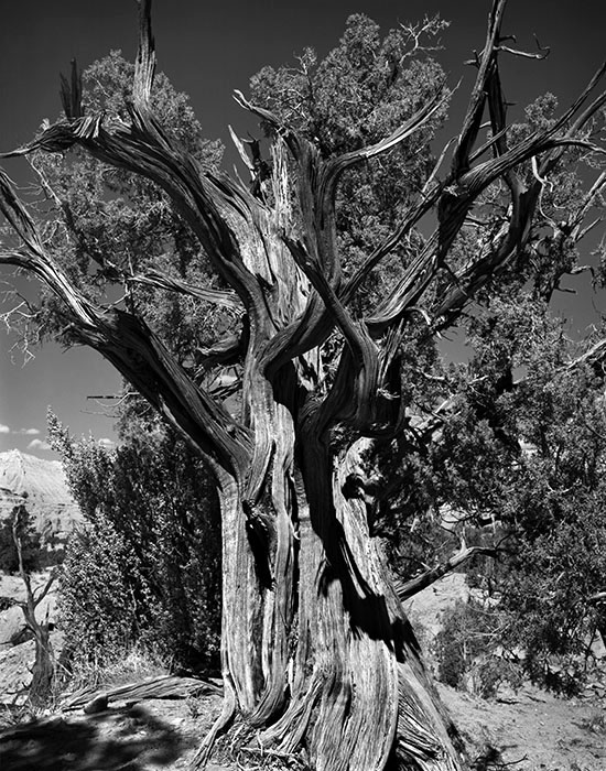 /product//cedar-tree-kodachrome-basin-state-park-utah/