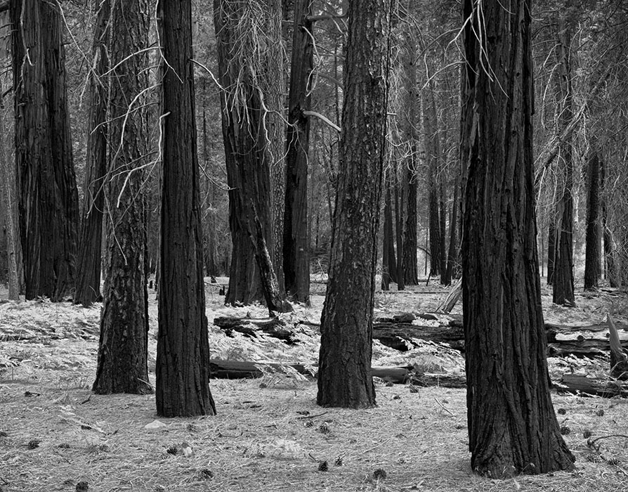 /product//burned-trees-yosemite-valley/