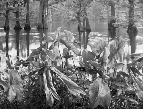 Lotus Leaves and Cypress Trees, Horseshoe Lake State Wildlife Area, Illinois, 1982