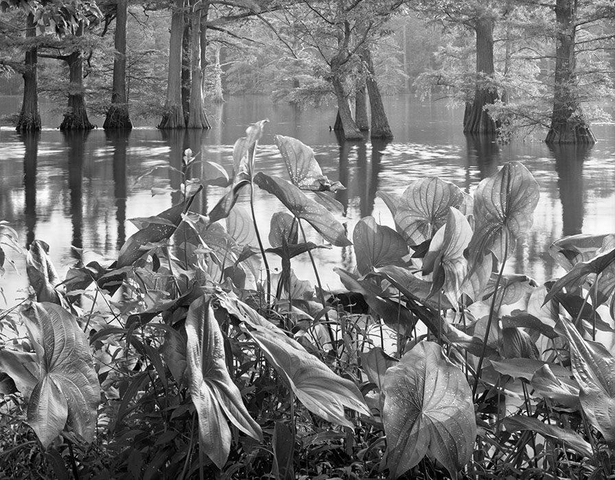 /product//lotus-leaves-and-cypress-trees-horseshoe-lake-state-wildlife-area-illinois-1982/