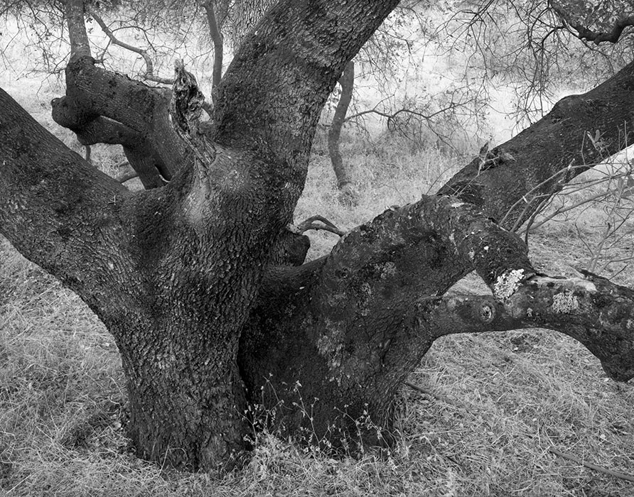 /product//oak-tree-and-meadow-near-mariposa-california/