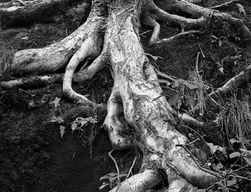 Tree Roots, Ferne Clyffe State Park, Illinois, 1982