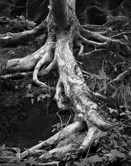 /product//tree-roots-ferne-clyffe-state-park-illinois-1982/