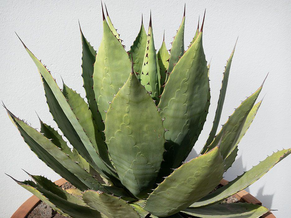 /product//agave-fabrica-la-aurora-san-miguel-de-allende-2019/