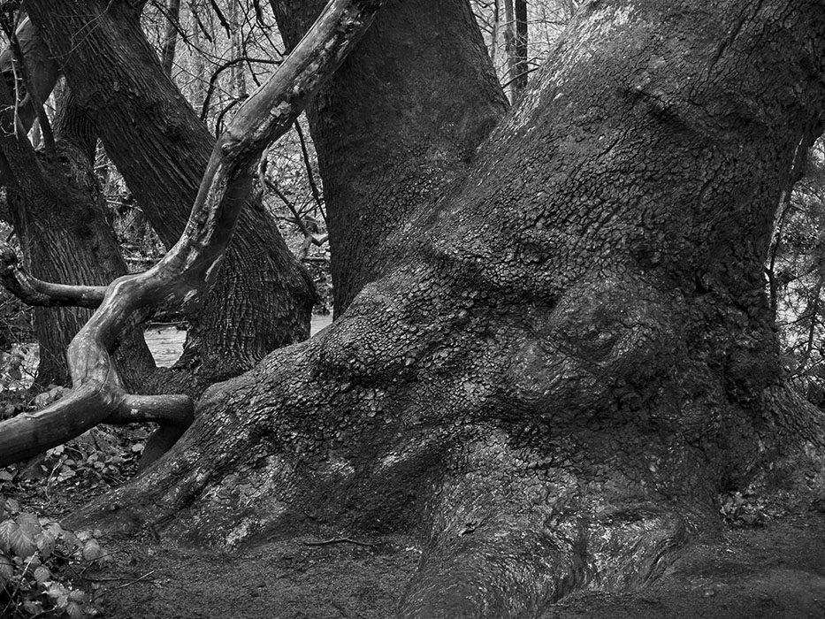 /product//sycamore-trunk-oak-creek-rain-red-rock-state-park-sedona-arizona-2020/